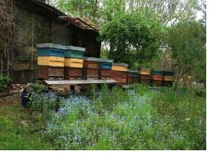 Am Heimatstand in Hirschgarten sammeln meine Bienen die Sorten Frühtracht mit Ahorn, Robinie und Linde.